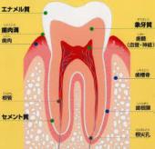 歯のしくみ