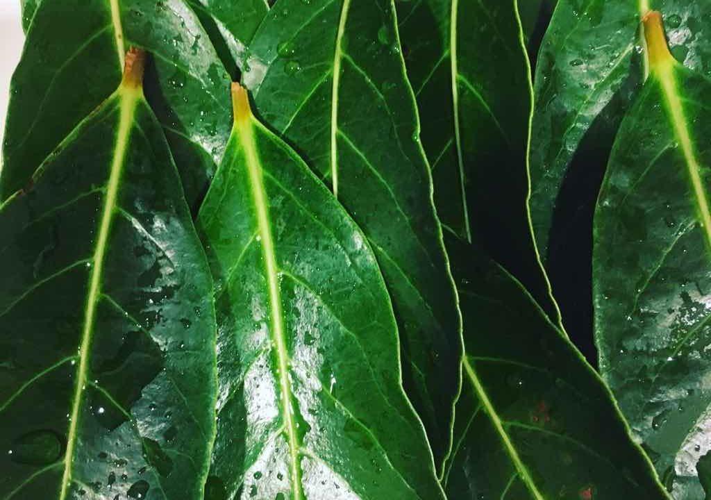 ビワの葉アトピー