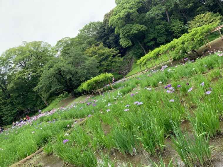 小石川後楽園花菖蒲
